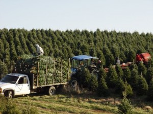Freshly harvested Christmas trees being loaded into a truck