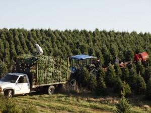 A harvest crew cuts trees
