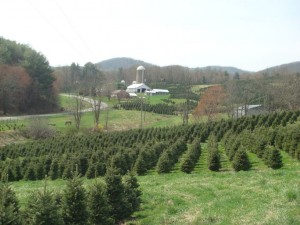 Spring day on a Christmas tree farm