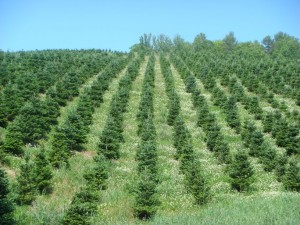 A field of young Fraser fir with good clover ground cover