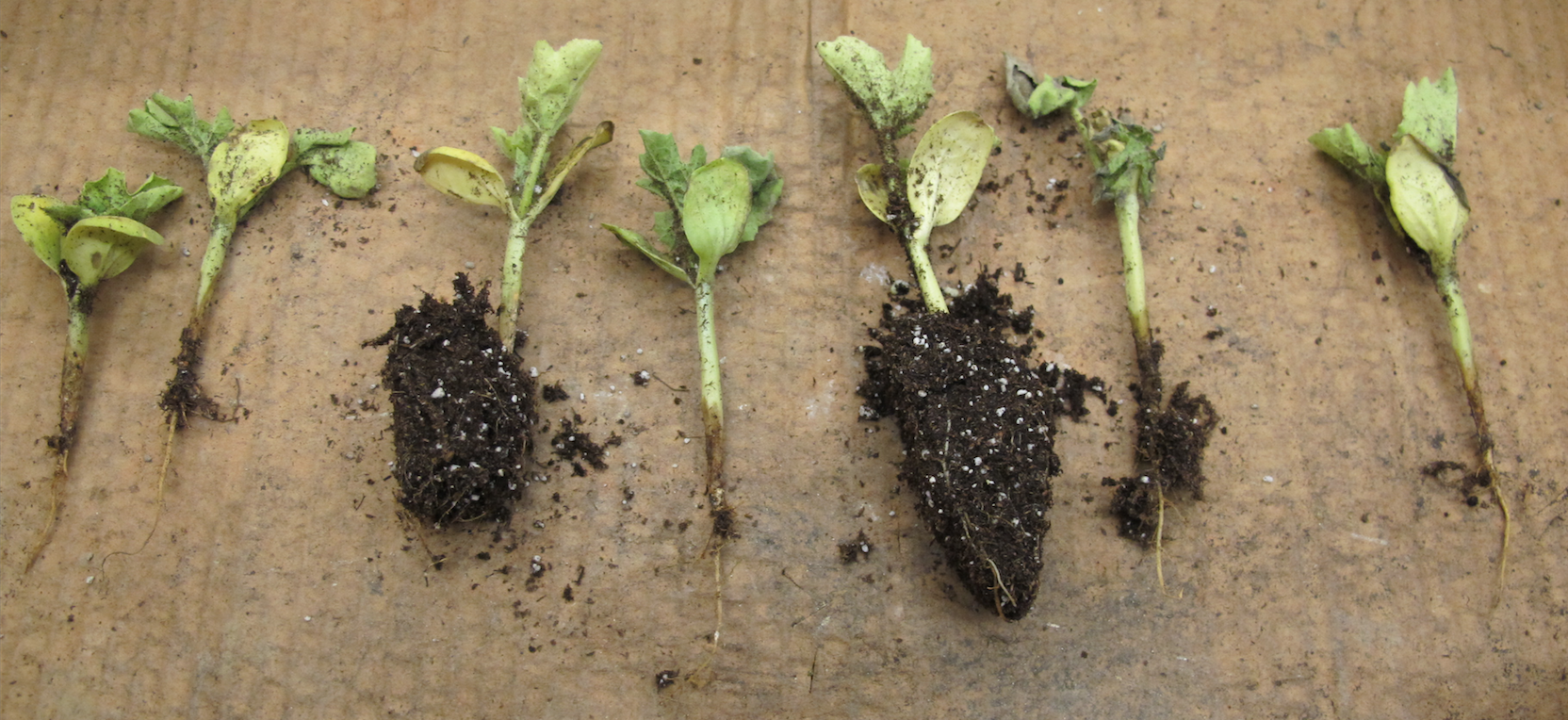 Fig. 1: water soaked lesions on crowns of watermelon seedlings infected with gummy stem blight