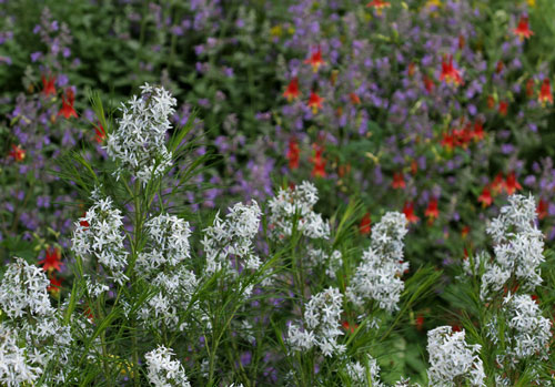 Bluestar (Amsonia hubrechtii) in front of catmint and wild columbines.