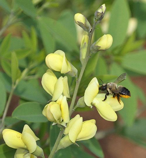Leafcutter bee on wild indigo (Baptisia 'Carolina Moonlight').