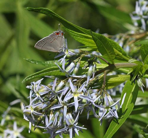 Gray hairstreak on bluestar (Amsonia tabernaemontana).