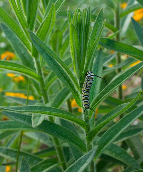Monarch caterpillar on butterfly weed.