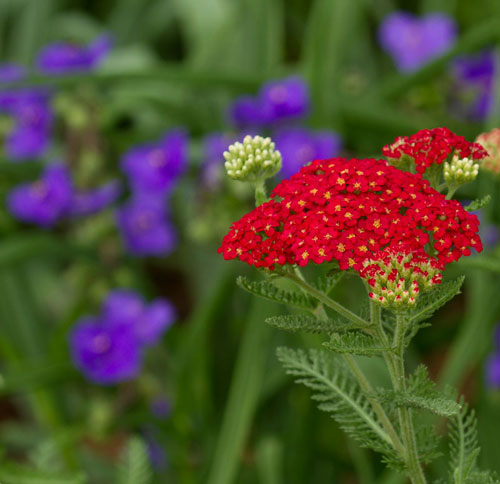 Yarrow (Achillea 'Paprika') with spiderwort in the background.