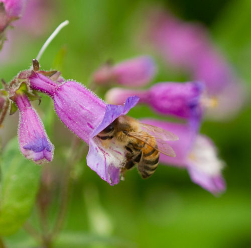 Honey bee foraging on small's beardtongue (Penstemon smallii).