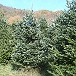 Organic Christmas trees showing twig aphid damage