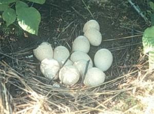 turkey-eggs1