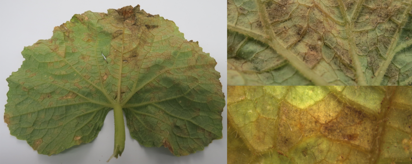 "Cucumber leaf collected from Duplin County, North Carolina on June 8th, 2014, abaxial side. Note angular, chlorotic lesions with a grayish-brown ""downy"" appearance (Emma Wallace, NCSU Vegetable Pathology Lab)"