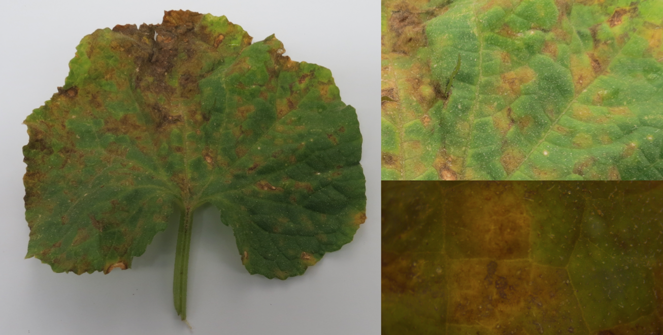 Cucumber leaf collected from Duplin County, North Carolina on June 8th, 2014, adaxial side. Note angular, chlorotic lesions. In some cases, the lesions have started to turn necrotic and merge into one large infected area. (Emma Wallace, NCSU Vegetable Pathology Lab)