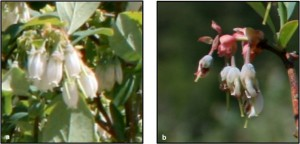 Typical rabbiteye blueberry flowers (left) and malformed Premier flowers (right). Photos: Shelley Rogers