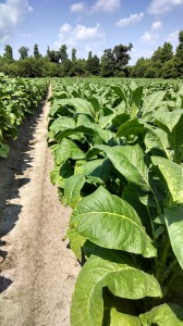 Tobacco plants in Greene County. Photo: Hannah Burrack