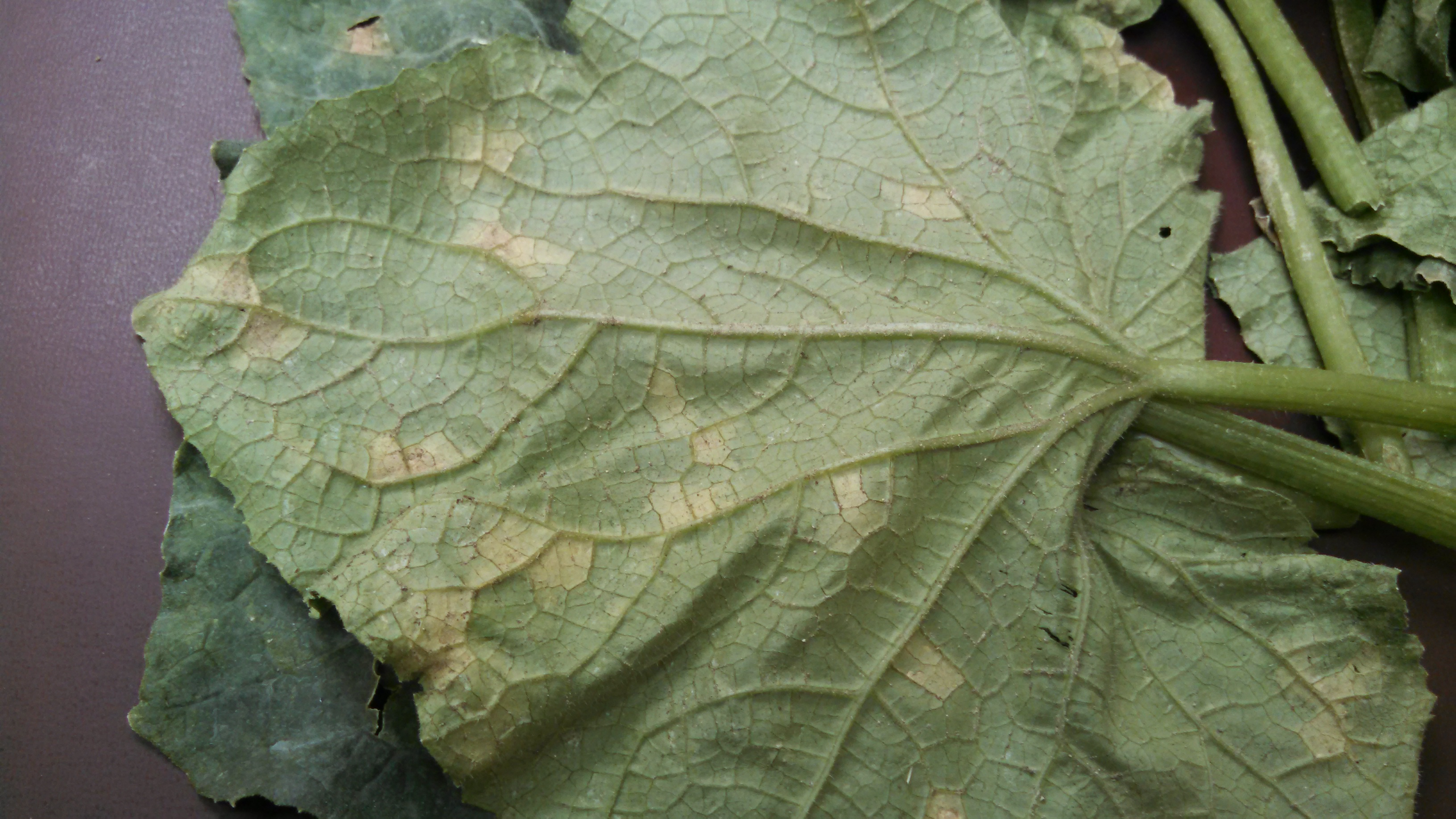 Figure 1: abaxial side of a cucumber leaf showing downy mildew sporulation (Charles Mitchell, N.C. Cooperative Extension)