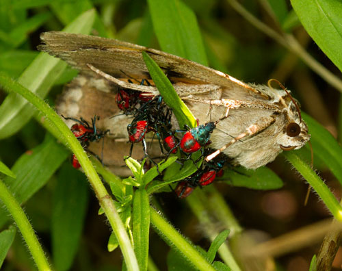 Florida predatory stink bug nymphs feeding on a (still alive) sphinx moth.