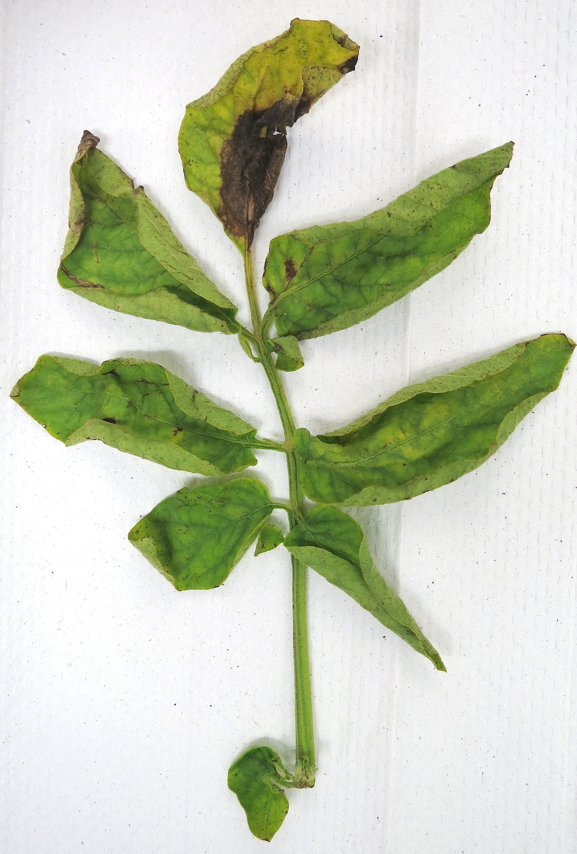 Figure 1: potato late blight