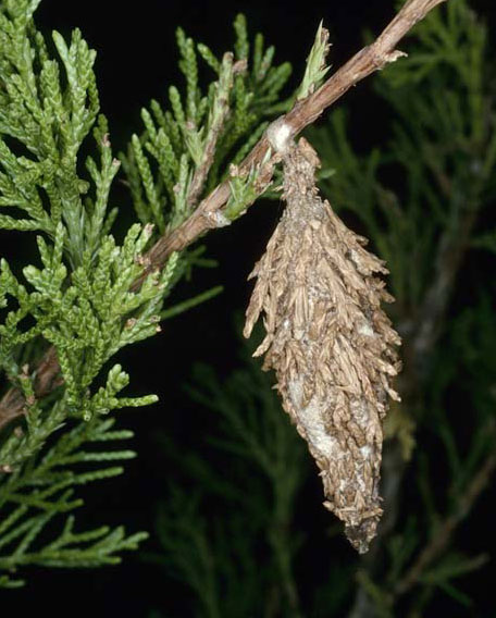 Is That a Bagworm? | North Carolina Cooperative Extension