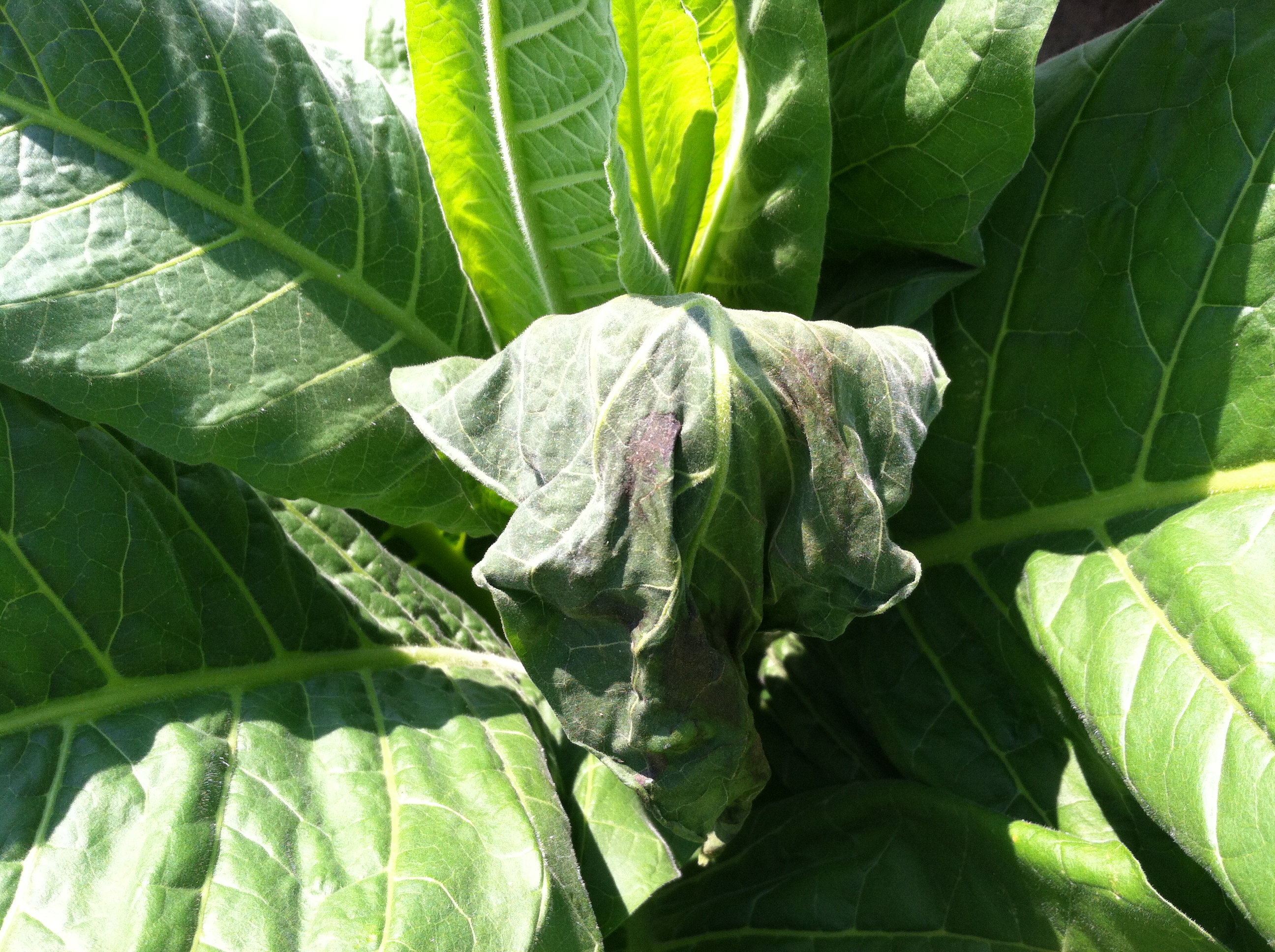 Wilting Leaf and Sun Scald from Stinkbug Feeding