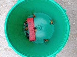 Moths captured in grape root borer monitoring traps in late May, grower photo.