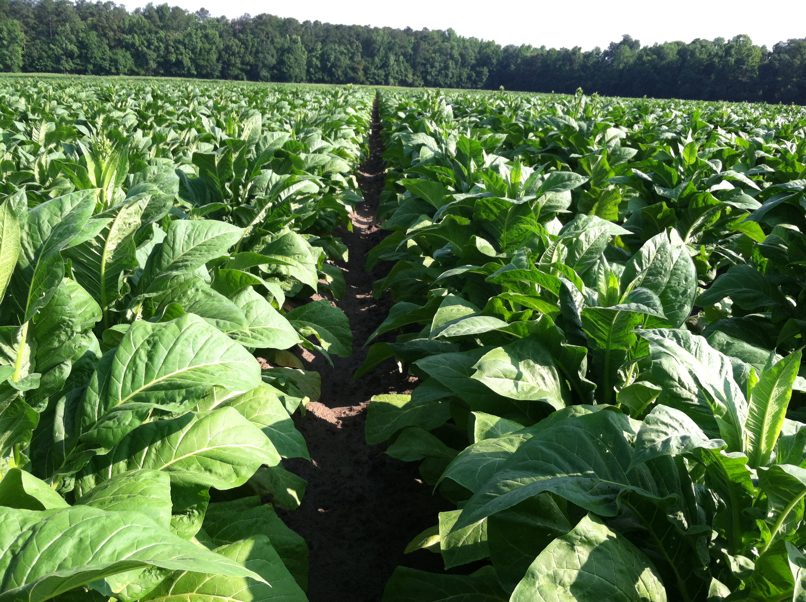 Tobacco Field June 20, 2014