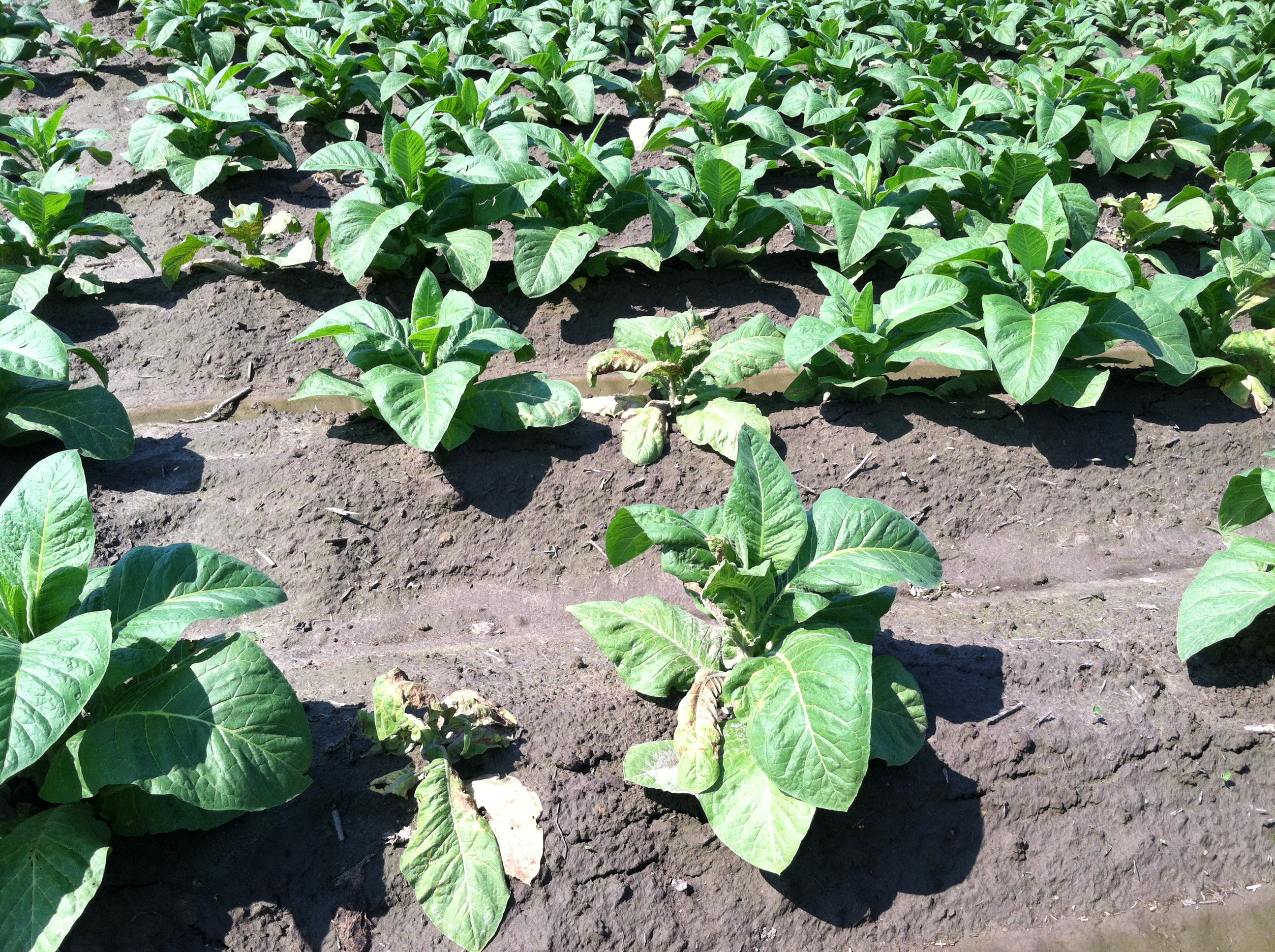 Tomato Spotted Wilt Virus on Tobacco