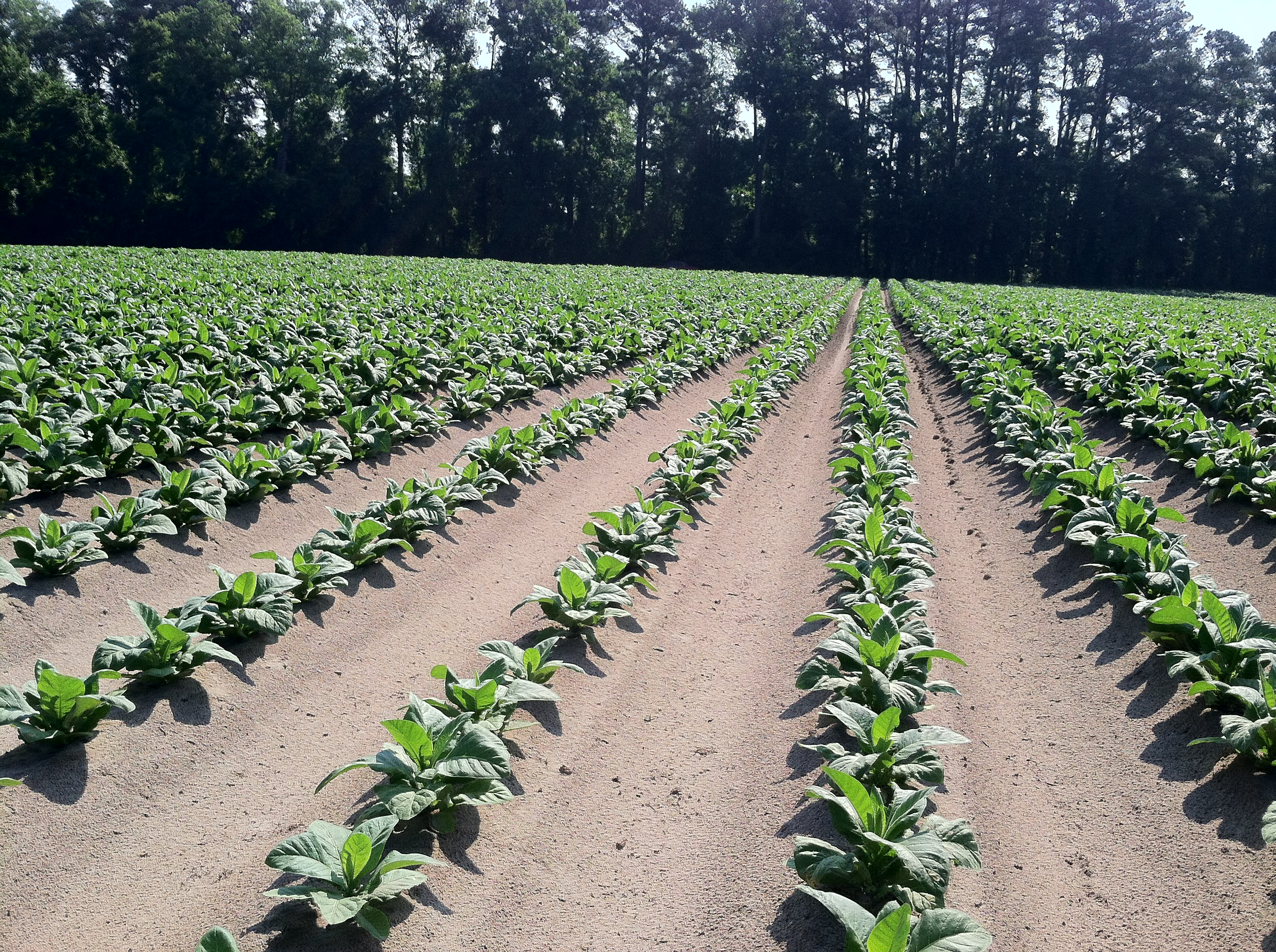 Uneven Growth of Tobacco
