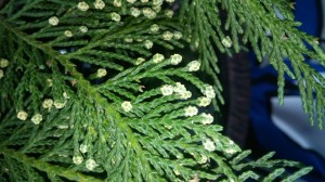 Leyland cypress are popular trees in the home landscape. Though rare, these trees sometimes flower producing small non-showy male or female flowers. Picture courtesy of Leighandra Fitzgerald
