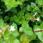 Picture of a flower on an abelia plant.