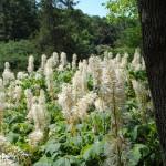 Flowering hedge of bottlebrush buckeye