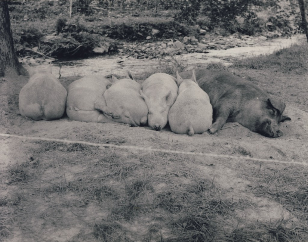 Conleys Creek - A contented family of hogs. September 1976 (Swain County Soil & Water picture)