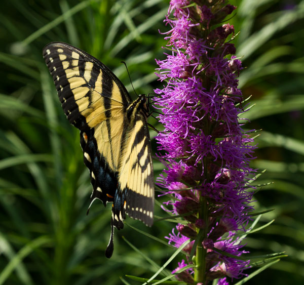 Today, July 13, I saw my first tiger swallowtail butterfly of the year, much later than normal.