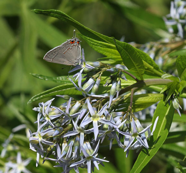 Gray hairstreak on bluestar in mid-May.