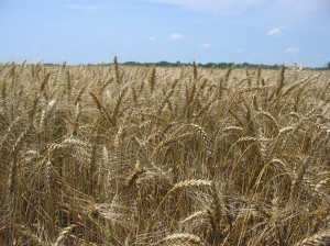 Cover photo for Organic Wheat OVT Results - 2011-2015