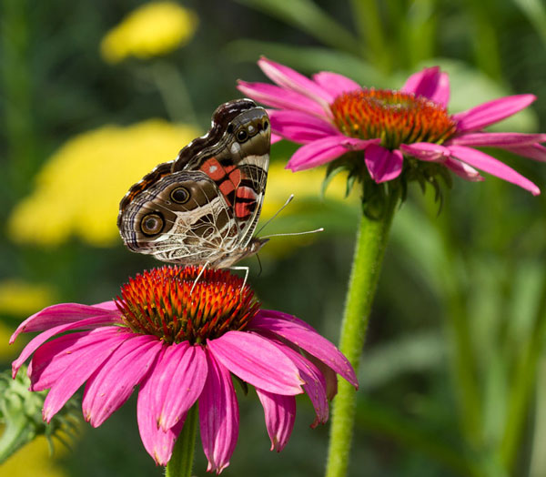 American lady on coneflower