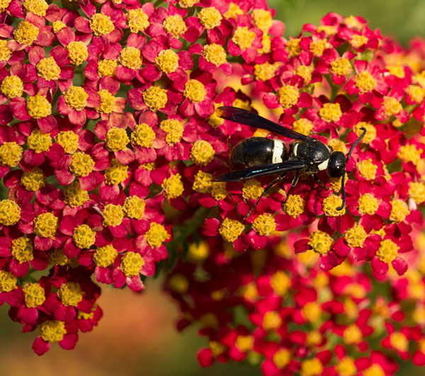 Potter wasp on yarrow (Achillea 'Paprika').