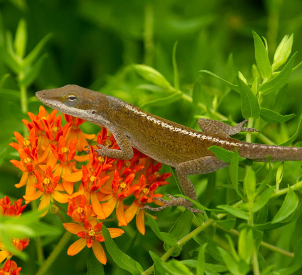 Carolina anole on butterfly weed (Asclepias tuberosa).