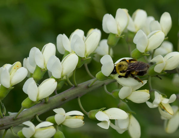 Bumble bee on white wild indigo (Baptisia alba).