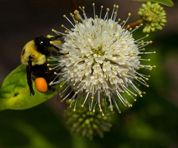 Bumble bee on buttonbush (Cephalanthus occidentalis).
