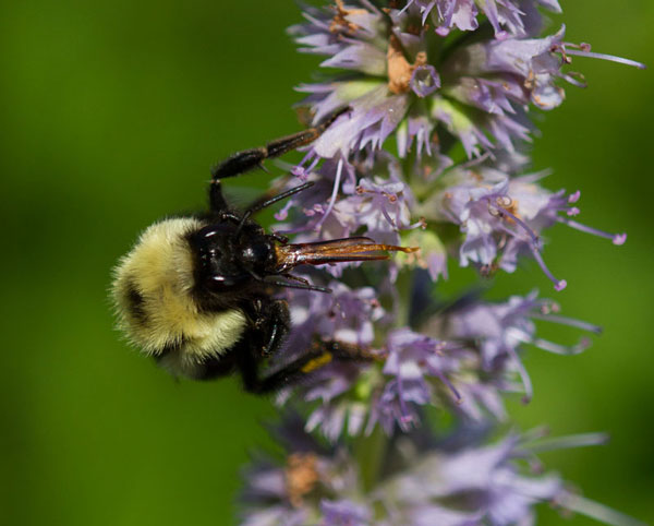 Bumble bee foraging on nectar from anise hyssop (Agastache 'Blue Fortune').
