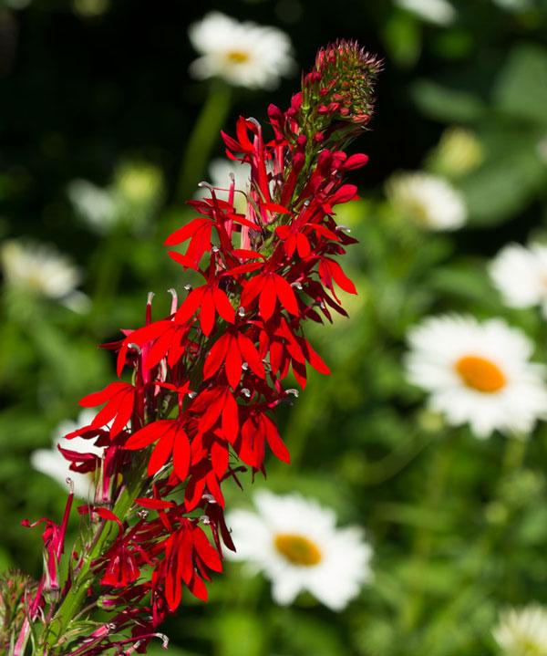 The cardinal flower (Lobelia cardinalis) is looking gorgeous!