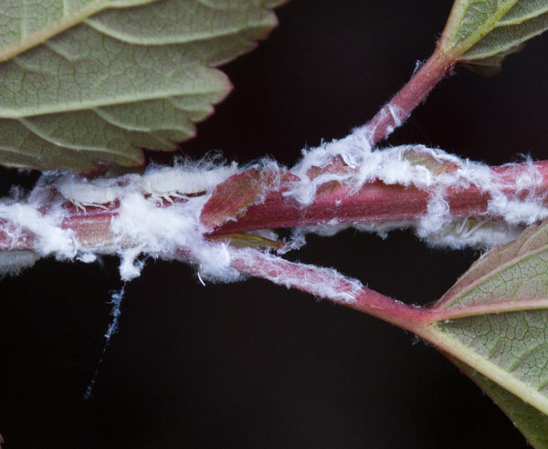 Nymphs of the flatid planthopper on eastern ninebark shrub.