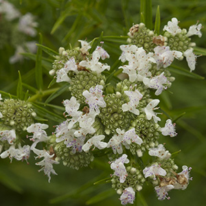 Narrow-leaf mountain mint