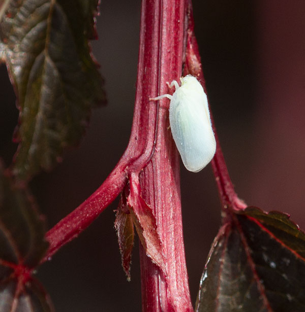 Adult flatid planthopper on eastern ninebark shrub.