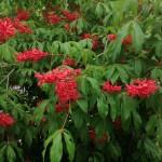A red Buckeye in spring flower.