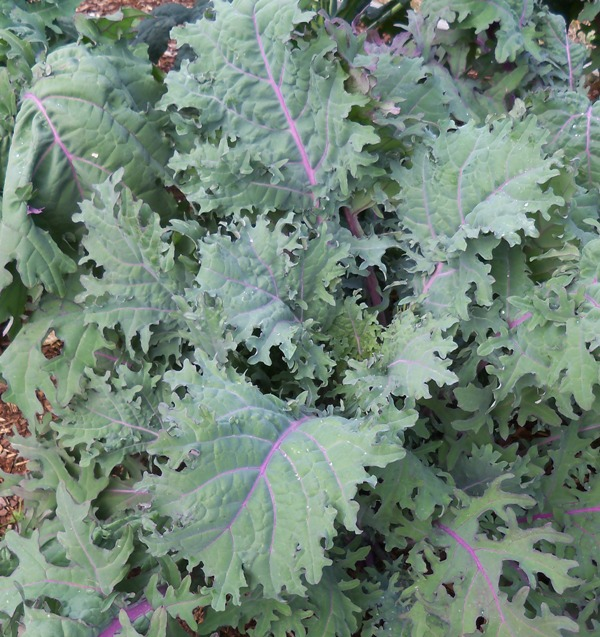 Red Russian' kale