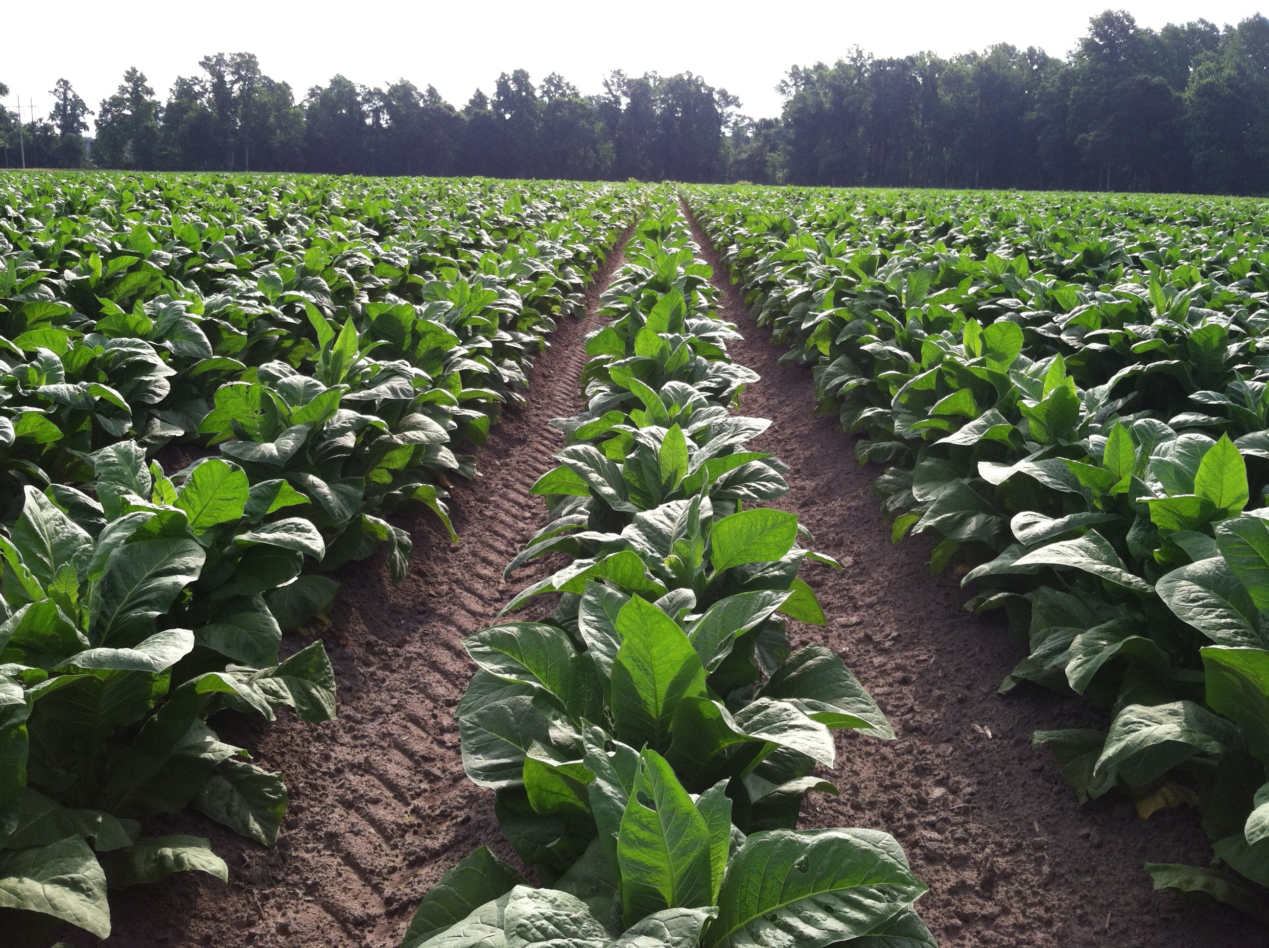 July 2, 2014 Tobacco Scouting and Crop Report | North ...
