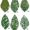 Guide to estimating defoliation.  Image from Iowa State University Extension.