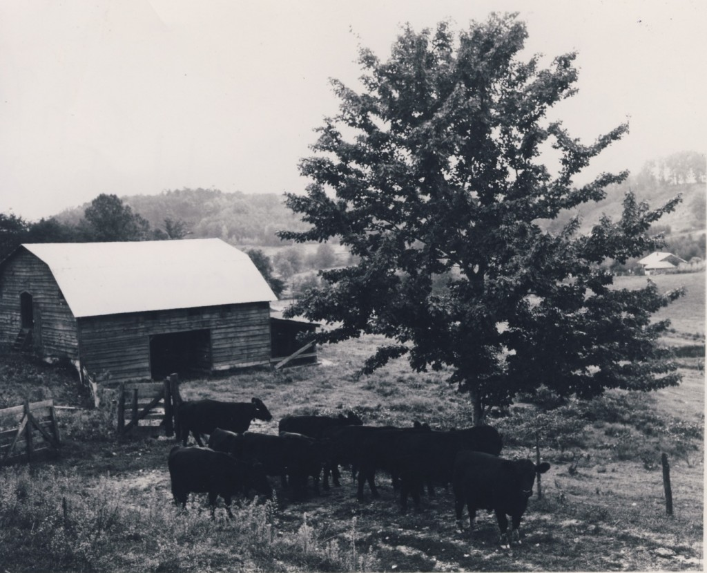 Shows herd of purebred black angus cows on recently renovated pasture. October 19, 1961. (Swain County Soil & Water picture)