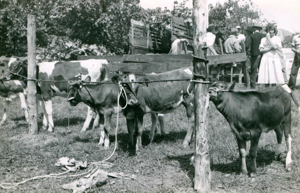 cattle judging-3