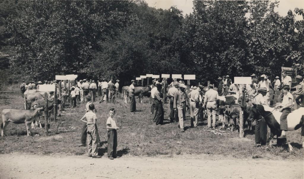 cattlejudging